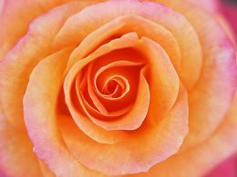 rose with orange and pink